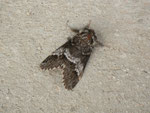 Drymonia dodonaea (Ungefleckter Zahnspinner, Männchen) / CH BE Hasliberg 1050 m, 19. 05. 2014