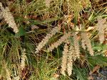 Melica ciliata (Bewimpertes Perlgras) / Poaceae