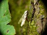 Lymantria monacha (Nonne) / CH BE Hasliberg 1050 m, 26. 08. 2020 (Eiablage an Pinus sylvestris)