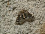 Ecliptopera silaceata (Braunleibiger Springkrautspanner) / CH BE Hasliberg 1050 m, 10. 06. 2015