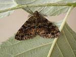 Deileptenia ribeata (Moosgrüner Rindenspanner, Zuchtfalter, Männchen) CH BE Hasliberg 08. 07. 2014