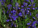 Polygala vulgaris (Kreuzblume) / Polygalaceae