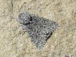 Acronicta euphorbiae (Wolfsmilch-Rindeneule) / CH VS Albinen Tschärmilonga Bradele 1914 m, 08. 06. 2017