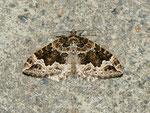 Lampropteryx suffumata (Labkraut-Bindenspanner) / CH BE Hasliberg 1050 m, 11. 04. 2011