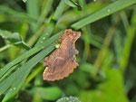 Ptilodon capucina (Kamel-Zahnspinner) / CH BE Hasliberg 1200 m, 24. 06. 2013