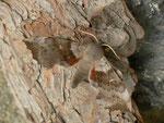 Laothoe populi (Pappelschwärmer, Männchen) / CH BE Hasliberg 1050 m, 03. 05. 2014