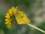 Colias alfacariensis (Hufeisenklee-Gelbling, Falter aus obiger Puppe) / CH BE Hasliberg, 06. 05. 2015 (Falter aus obiger Puppe)