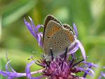 Lycaena hippothoe eurydame (Kleiner Ampferfeuerfalter, Männchen) / CH FR Gros Mont Brenleire 1542 m, 26. 06. 2014