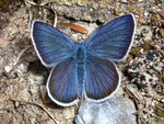 Polyommatus semiargus (Violetter Waldbläuling, Männchen) / CH VS Leukerbad Clabinualp 1600 m, 30. 06. 2009