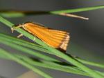 Xanthocrambus saxonellus (Gelber Steppnegraszünsler) / CH BE Hasliberg 1100 m, 02. 07. 2010