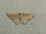 Hydria (Rheumaptera) undulata (Wellenspanner) / CH BE Hasliberg 1050 m, 12. 07. 2013 (Falter am Licht)