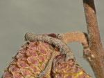 Campaea margaritata (Silberblatt) / CH BE Hasliberg 1050 m, 24. 02. 2014
