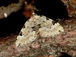 Colostygia pectinataria (Prachtgrüner Bindenspanner) / CH BE Hasliberg 1240 m, 08. 07. 2012