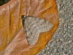Trichopteryx carpinata (Hellgrauer Lappenspanner, Weibchen) / CH BE Hasliberg 1050 m, 17. 04. 2013