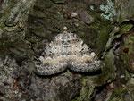 Perizoma minorata (Kleiner Augentrost-Kapselspanner) / CH FR Grandvillard Alp Bounavaux, 18. 07. 2012 (in Bergmischwald)