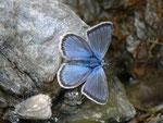 Polyommatus eros (Eros-Bläuling, Männchen) / CH VS Val d'Anniviers Zinal Barneuza 2203 m, 04. 07. 2011