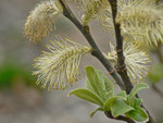 Salix caprea (Salweide) / Salicaceae