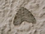 Epirrita christyi (Buchenwald-Herbstspanner) / CH BE Hasliberg 1249 m, 23. 09. 2014