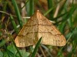 Agriopis aurantiaria (Orangegelber Breitflügelspanner) / CH VS Ferden, Underi Meiggu 1850 m, 22. 10. 2012