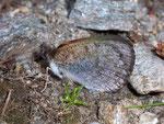 Erebia tyndarus (Schillernder Mohrenfalter, derselbe Falter wie vorher) / CH VS Laggintal 1540 m, 20. 07. 2009