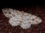 Ectropis crepuscularia (Rinden-Zackenbindenspanner) / CH BE Hasliberg 1100 m, 14. 03. 2008