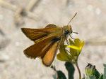 Thymelicus sylvestris (Braunkolbiger Braundickkopffalter, Männchen) / E Provinz Alicante, Costa Blanca, Sta. Pola, El Pinet, Parque Natural de las Salinas de Sta. Pola, Meereshöhe, 21. 04. 2012