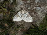 Eustroma reticulata (Netzspanner) / CH BE Hasliberg 1250 m, 18. 08. 2013 (am selben Ort wie oben)