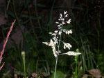 Poa (Rispengras) / Poaceae (Süssgräser)