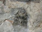 Hecatera dysodea (Kompasslattich-Eule) / CH VD La Lécherette Lac de l'Hongrin 1290 m, 26. 09. 2014