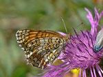 Melitaea phoebe (Flockenblumen-Scheckenfalter) /  CH VS Saas Grund, Furwald 1590 m, 21. 08. 2013