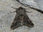 Apocheima hispidaria (Gelbfühler-Dickleibspanner, Männchen) / CH VS Rhônetal Flanthey 755 m, 11. 03. 2011