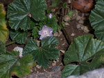 Malva negleta (Kleine Malve) / Malvaceae