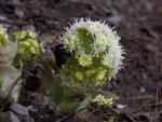 Petasites (Pestwurz) / Asteraceae