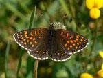 Melitaea diamina (Silber- oder Baldrian-Scheckenfalter, Männchen) / CH UR Brunnital 1406 m, 15. 07. 2013