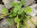 Carcharodus alceae (Malven-Dickkopffalter, Ei) / CH BE Hasliberg 1060 m, 03. 08. 2015