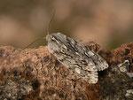 Brachionycha nubeculosa (Frühlings-Rauhhaareule) / CH BE Hasliberg 1050 m, 27. 03. 2016