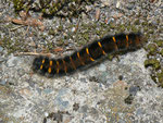 Macrothylacia rubi (Brombeerspinner, Jungraupe) / CH BE Hasliberg 1050 m, 24. 08. 2013