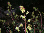 Sanguisorba minor (Kleiner Wiesenknopf) / Rosaceae