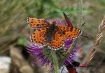 Melitaea didyma (Roter Scheckenfalter, Männchen) / Italien Aostatal Valpelline Alp Chamen, 10. 08. 2005
