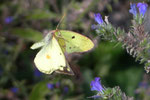 Colias hyale (Goldene Acht, Weibchen) / CH BE Hasliberg 1150 m, 10. 09. 2006