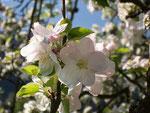 Malus domestica (Apfelbaum) / Rosaceaea