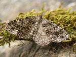 Deileptenia ribeata (Moosgrüner Rindenspanner, Zuchtfalter, Weibchen) CH BE Hasliberg 13. 07. 2015