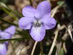 Viola hirta (Rauhaariges Veilchen) / VIOLACEAE