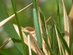 Lasiommata maera (Braunauge) / CH BE Hasliberg, 12. 05. 2015 (Zuchtraupe)