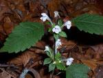 Lamium album (WeisseTaubnessel) / Lamiaceae