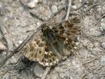 Carcharodus baeticus (Männchen) / Spanien, Andalusien, Sevilla-Jerez, Utrera, Embalse de Torre del Aguila 153 m, 01. 05. 2012