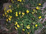 Lotus corniculatus (Hornklee) / Fabaceae