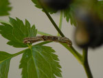 Ectropis crepuscularia (Rinden-Zackenbindenspanner) / CH BE Hasliberg 1050 m, 18. 07. 2014 an Actaea spicata