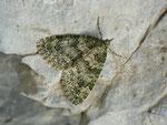 Chloroclysta miata (Bläulichgrauer Heidelbeer-Blattspanner) / CH BE Hasliberg 1060 m, 21. 07. 2015