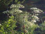 Heracleum sphondylium (Bärenklau) / Apiaceae